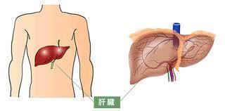 肝臓について