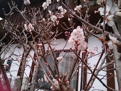 サクラ?違います、庭のサクランボの花が咲きはじめました。