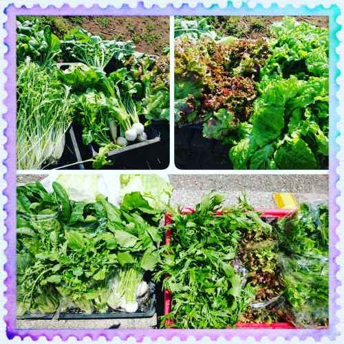 葉物野菜の収穫