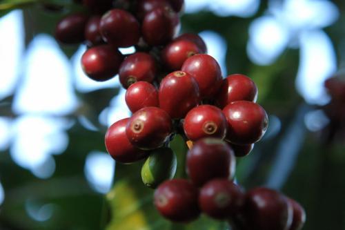パナマのコーヒー
