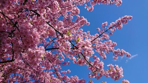 2020.03.05 桜の開花予想