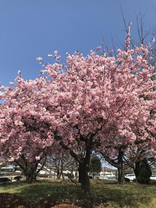 岡部駅の河津桜