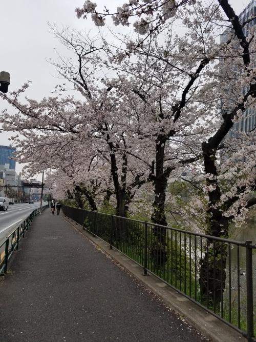 桜も咲いております。