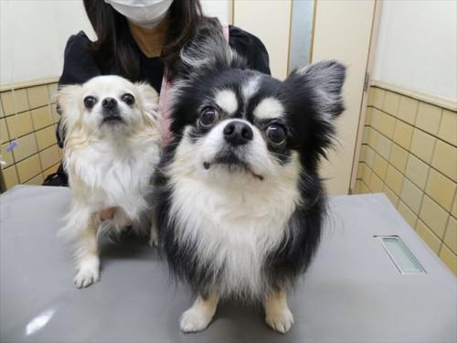 3/28ワクチン チワワ 動物病院 名古屋市緑区天白区日進市